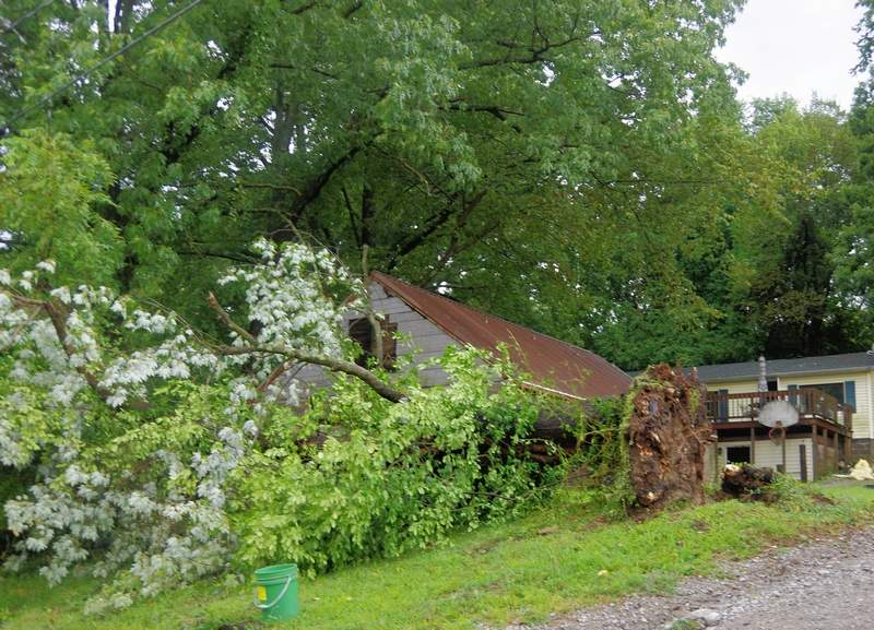 The large tree that was uprooted by the powerful winds on Aug. 20.