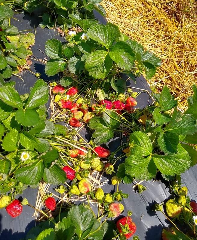 The Miller Farm will yield a bountiful crop of strawberries during May.